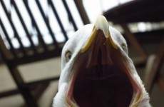 Here's the proof that seagulls are the devil incarnate