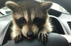 Forget cats and dogs, we want a pet raccoon...