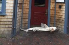 Five-foot shark found blocking pub door