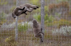 The mystery of the traumatised baboons at a Dutch zoo