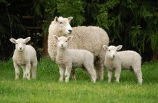 Irish consumers favouring cheaper cuts of lamb as sales rise dramatically