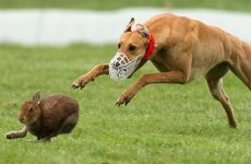 Animal rights activists unhappy as Department issues licences for hare coursing