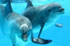 Measles-style virus blamed for hundreds of dolphin deaths since July