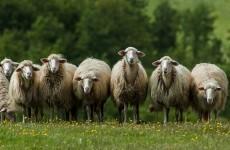 'Big cat' suspected in spate of sheep killings