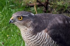 Appeal for information after protected bird found hanging from gatepost