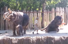 Watch this elephant clean its own head with a broom