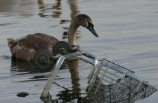 Blood poisoning to blame for death of Grand Canal swans
