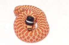 These fancy snakes wearing hats and moustaches are ssssirs