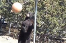 WATCH: Bear plays swingball with himself