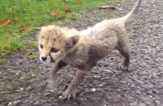 Which Irish rugby legend has the Fota cheetah cub been named after?