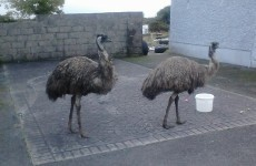 So two emus walked into a house in Galway...
