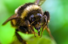 Debunked: Will a bee die if it stings you?