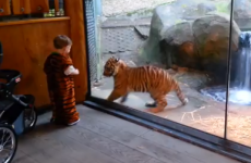 WATCH: Real life tiger cub plays with kid in tiger costume