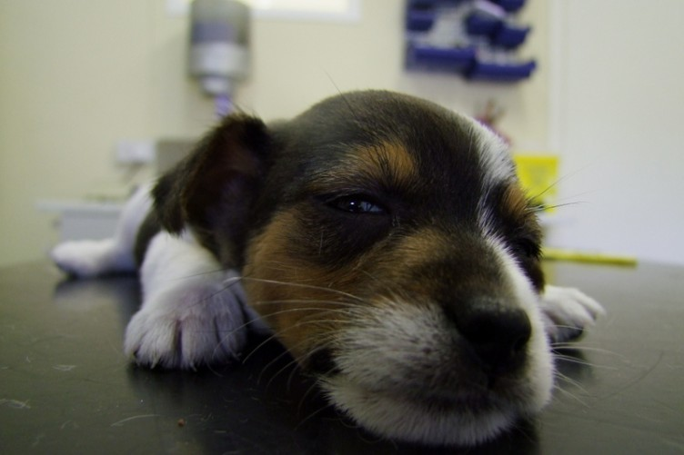 A puppy ill after having its tail docked.