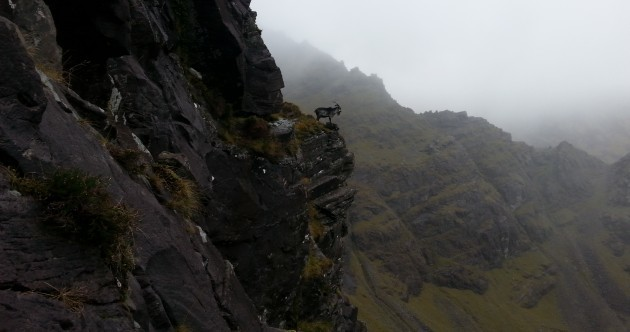 Wild Goat Is Braver Than You Pic of the Day