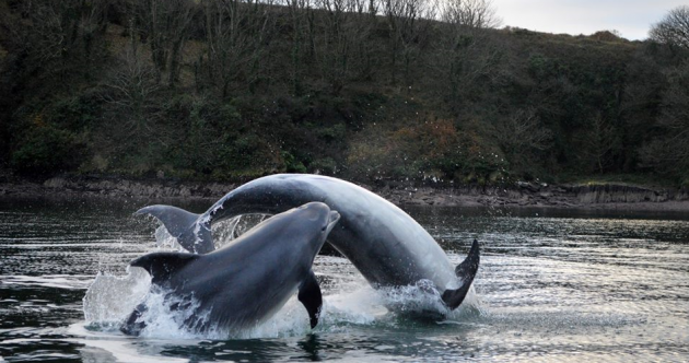 A Fungi to hang out with... Dingle dolphin and friends splash about in the bay