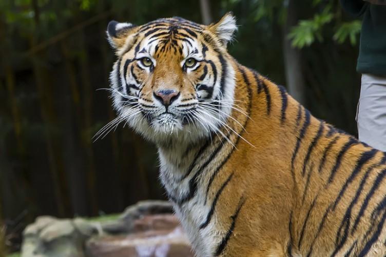 A Bengal tiger at Australia Zoo.