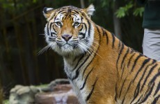 Man attacked by tiger at 'Crocodile Hunter' zoo