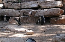 Penguins living together at Israeli Zoo discovered to be 'lesbians'