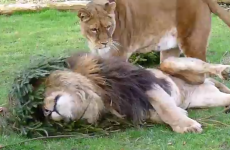 Zoo offers to recycle Christmas trees as toys for lions