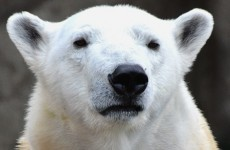 It's so cold in the US that a polar bear was brought indoors at a zoo