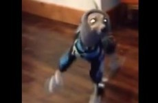Watch this greyhound do a little tap dance in his snow booties