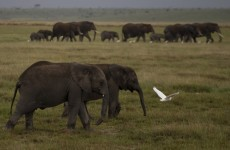 Organisation brings elephants to Twitter using GPS collars