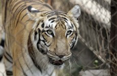 Man-eating tiger believed to have killed 3 people shot dead in India
