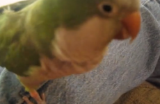 Meanest parrot ever bites owner and laughs about it