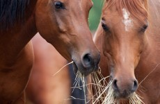 """Hay drive begins to help save """"deluge"""" of dumped horses"""