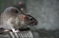 Dead rat stench and mice on desks: Woman gets €20k over rodents at work