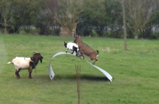 Goats riding an awesome piece of flexible steel, and bloody loving it