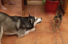 Husky really wants to play but this cat is having none of it
