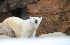 People accidentally adopted polar bears while donating #nomakeupselfie money