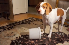 Poor dog driven mad trying to find his biscuits