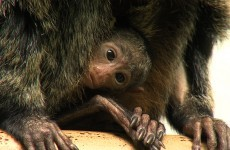 Your heart won't be able for this tiny baby monkey at Dublin Zoo
