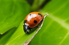 There's a new ladybird in town and it's eating the other ladybirds' eggs
