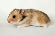 France has a plan to save the endangered Great Hamster of Alsace