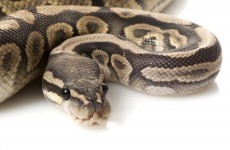 Woman traumatised after finding a python in her loo