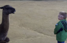 After long consideration, llama spits in little kid's face