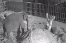 Pregnant elephant at Dublin Zoo given special pillow to help her sleep