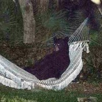 Just a bear in a hammock, chillin' like a villain