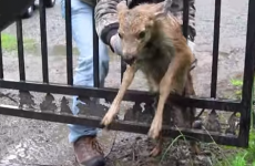 This baby deer being rescued from a fence will break your heart