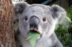 Here's the real reason why koalas hug trees