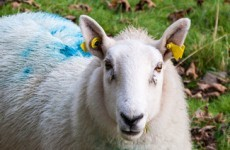 Goats and sheep became individual species more than 4 million years ago