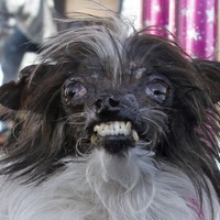 Meet Peanut, officially the ugliest dog in the world