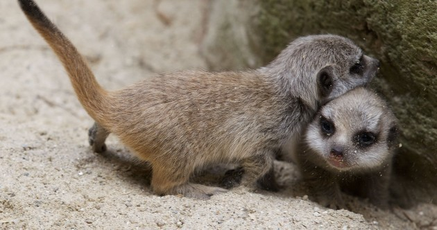 It's Friday so here are some adorable meerkat pups at Dublin Zoo