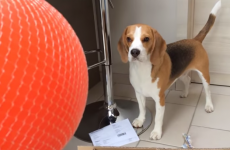 Louie the beagle gets the best present ever