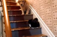 Bo the dog is terrified to pass cat on stairs and we don't blame him