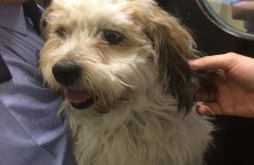 This adorable lost dog has been taken in by Dublin gardaí